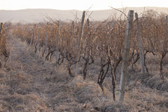 Виноградник на заходе солнца в зиме Стоковая Фотография