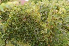 Виноградник на осени Стоковое Изображение