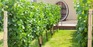 Виноградник на предпосылке старого бочонка вина Стоковое Фото