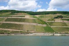 Виноградник на реке Стоковое фото RF