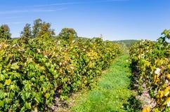 Виноградник на ясный день осени Стоковые Фото
