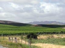 Виноградник Новой Зеландии Стоковая Фотография RF