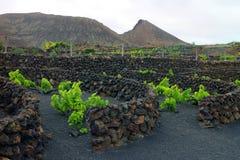 Виноградник области Geria Ла Лансароте на черной вулканической почве Стоковая Фотография