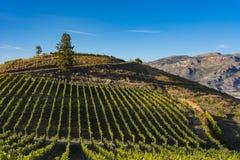 Виноградник около озера Okanagan около Британской Колумбии Канады Summerland Стоковые Изображения RF