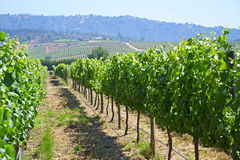Виноградник долины Касабланки стоковое фото