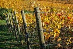 Виноградник долины Willamette в падении Стоковые Фотографии RF