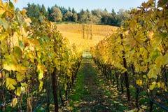 Виноградник долины Willamette в падении Стоковые Изображения