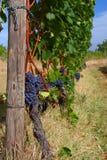 Виноградник перед сбором Стоковые Изображения RF