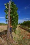 Виноградник перед сбором Стоковые Изображения