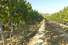 виноградник природы ландшафта состава стоковое фото rf