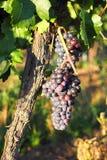 Виноградник, расти виноградин, Palava южная Моравия, чехия Стоковое фото RF