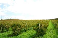 виноградник Сицилии trapani Стоковая Фотография