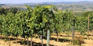 Виноградник с виноградинами в итальянской сельской местности Стоковое Изображение RF