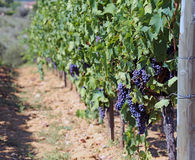 Виноградник с виноградинами в сельской местности в лете Стоковая Фотография