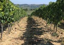 Виноградник с виноградинами в сельской местности в поздним летом Стоковые Изображения RF
