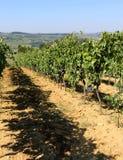Виноградник с виноградинами в сельской местности в поздним летом Стоковое фото RF