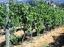 Виноградник с виноградинами в сельской местности Стоковая Фотография RF