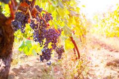 Виноградник с зрелыми виноградинами в сельской местности на заходе солнца, тонизированном pictur Стоковая Фотография RF