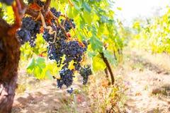 Виноградник с зрелыми виноградинами в сельской местности на заходе солнца, тонизированном pictur Стоковое Изображение