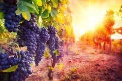 Виноградник с зрелыми виноградинами в сельской местности Стоковые Изображения RF
