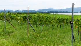 Виноградник с зрелыми виноградинами в сельской местности Стоковые Изображения