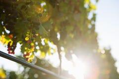 Виноградник с зрелыми виноградинами в сельской местности Стоковое Изображение