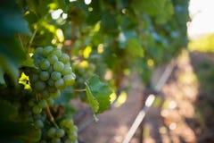 Виноградник с зрелыми виноградинами в сельской местности Стоковое Фото