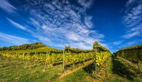 Виноградник с темносиним небом Стоковая Фотография