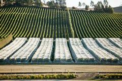 Виноградник Тасмания стоковые фотографии rf