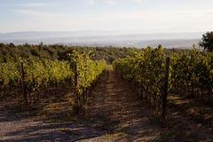 виноградник Тосканы Стоковое Изображение