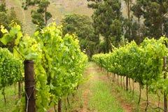 виноградник трассы montague 62 Африка южный Стоковые Фото