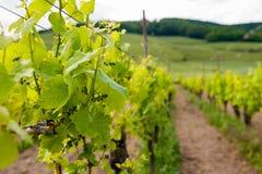 виноградник Франции Стоковые Фотографии RF