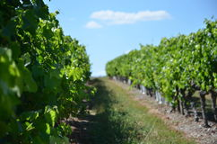 виноградник Франции Стоковое Фото
