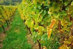 виноградник долины Стоковые Фото