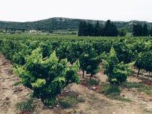 Виноградник Стоковое фото RF