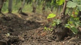 Виноградник сток-видео