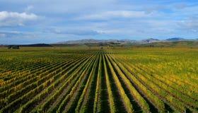 Виноградник Brancott в blenheim, Новой Зеландии стоковая фотография