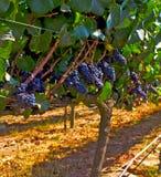 Виноградник Carmenere Стоковые Фото