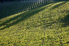 Виноградник Chianti с вкосую светом Стоковое фото RF