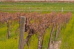 виноградник closup Стоковое Изображение