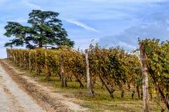 Виноградник Langhe в осени Стоковое Фото