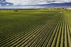 Виноградник Marlborough Стоковое фото RF