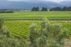 Виноградник Marlbourough Стоковые Изображения RF