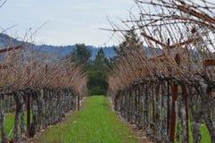 Виноградник Napa в зиме Стоковые Изображения RF