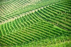 виноградник piemonte итальянки виноградных вин не зрелый Стоковые Фото