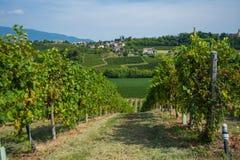 Виноградник Valdobbiadene, венето, Италия Стоковое Изображение RF