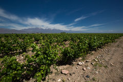 Виноградник, valle de uco, Аргентина Стоковые Изображения RF