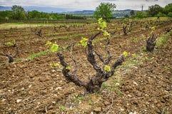 Виноградное вино весной стоковое фото