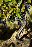 Виноградное вино в винограднике около скопья Стоковые Фотографии RF