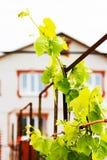 Виноградное вино в деревенском саде Стоковая Фотография